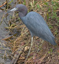 Little Blue Heron(小藍鷺)