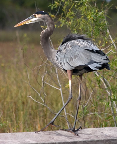Great Blue Heron(大藍鷺)