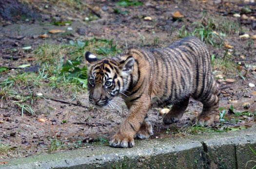 可爱小老虎 跃进小老虎 小老虎可爱头像