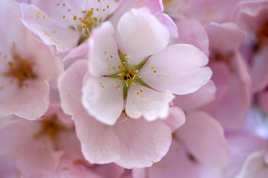 ����� ������������ washington dc cherry blossom